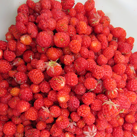 Wild Strawberries Are Worth the Work