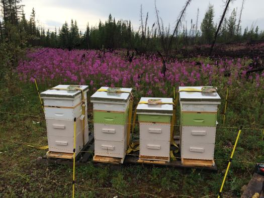 Bee hives around a field of fireweed - Photo Courtesy of Bee Whyld