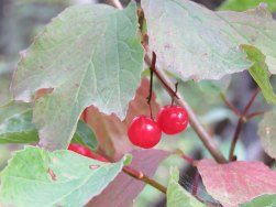 Highbush_Cranberry[1]