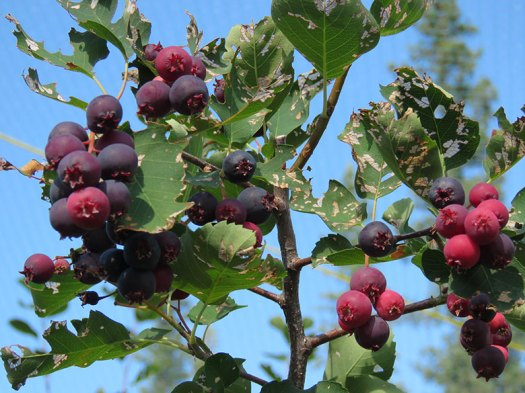 saskatoons_against_blue_sky[1]