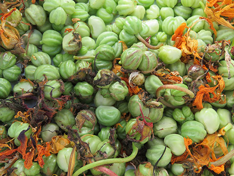 nasturtium-seed-pods-picked