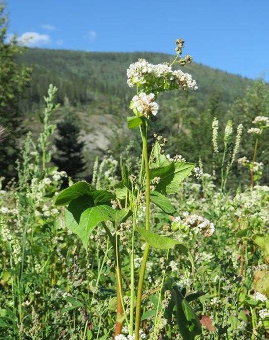 Buckwheat-flowering