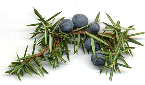 Look Under the Snow for Versatile Juniper Berries