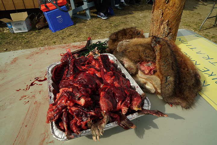 Muskrat meat ready for the grill, and fur ready for use at the Caribou Days Festival in Old Crow, Yukon. . Photo by Suzanne Crocker. From FirstWeEat.ca, the Food Security North of 60 website supporting First We Eat, a documentary by Yukon filmmaker Suzanne Crocker about eating only locally-grown foods in in Dawson City, Yukon, in Canada's North, for one year.