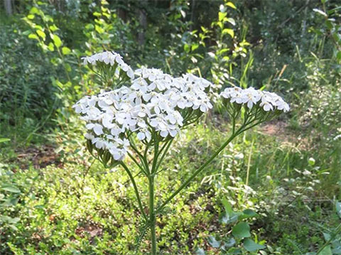 Yarrow: An Herbal Hero