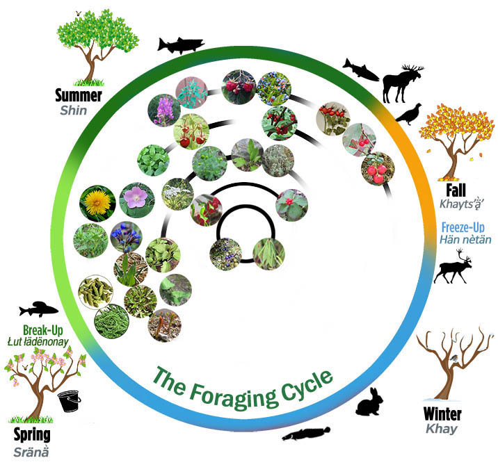 The Foraging Cycle - a year-round directory of wild foods. From the Foraging section of the website for First We Eat, a documentary by Dawson City, Yukon filmmaker Suzanne Crocker about eating only locally-grown foods in Dawson City, Yukon, in Canada's North, for one year.