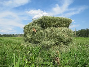Dawson hay for liverstock grown by Dan Reynolds. From First We Eat, a film about food sovereignty in the north by Suzanne Crocker.
