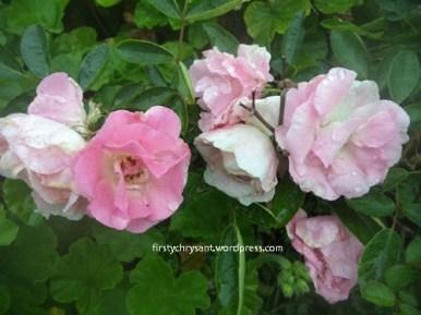 Mawar putih dan mawar pink