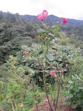 Bunga Mawar pink di Pinggir Jalan