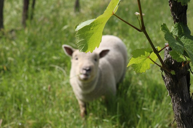 Ava im Weingarten