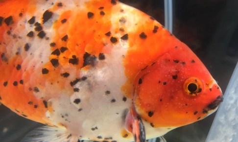 隼人錦ってどんな金魚?
