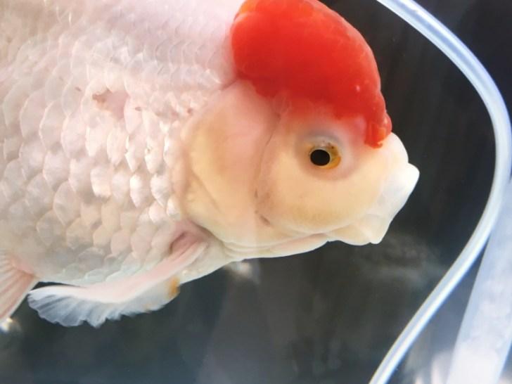 金魚の餌を食性から考える