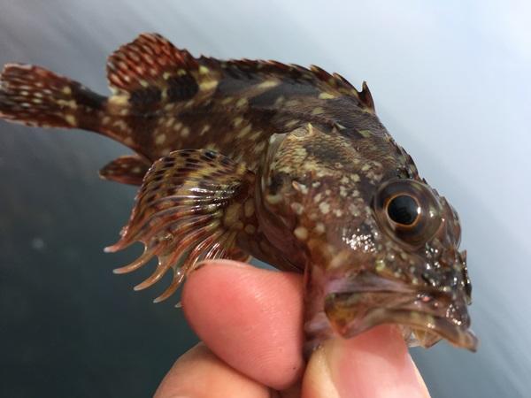 カサゴ釣りでは小さいカサゴはリリースしよう