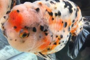 金魚の種類一覧