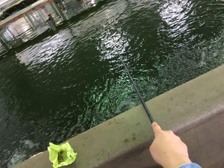 大倉養鯉場の金魚釣りは意外と難しい?