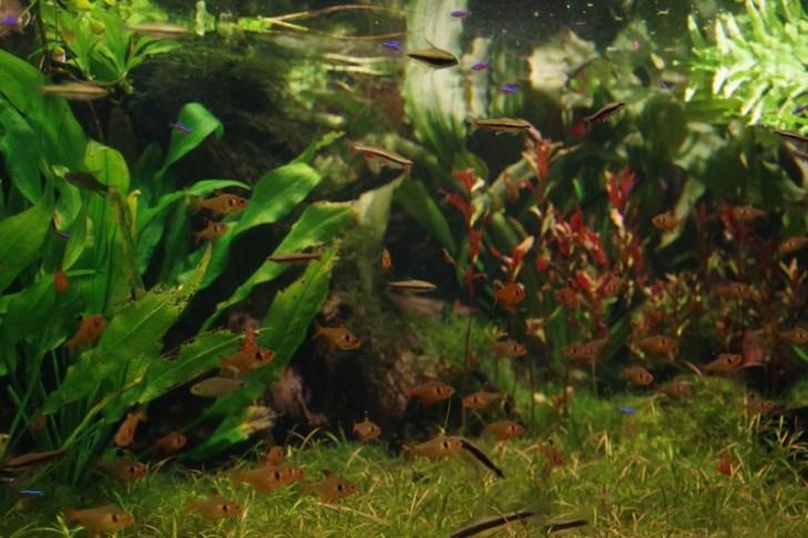 60cm水槽で熱帯魚