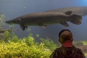 古代魚って飼育できるの?