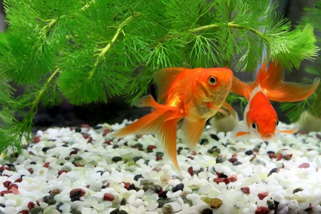 60cm水槽で金魚