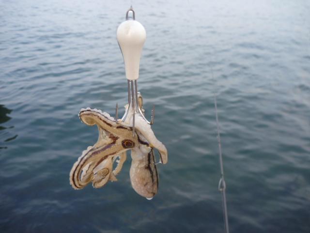 イイダコの釣り