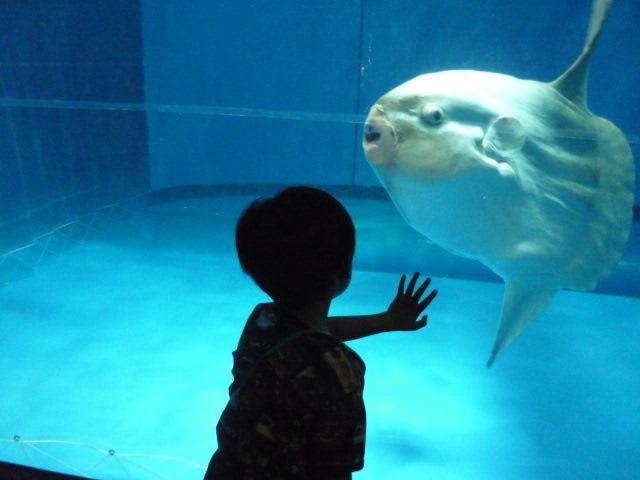 マンボウは水族館の人気者?