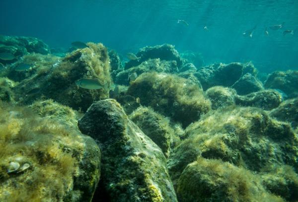 イサキは沿岸の磯や岩礁帯に生息