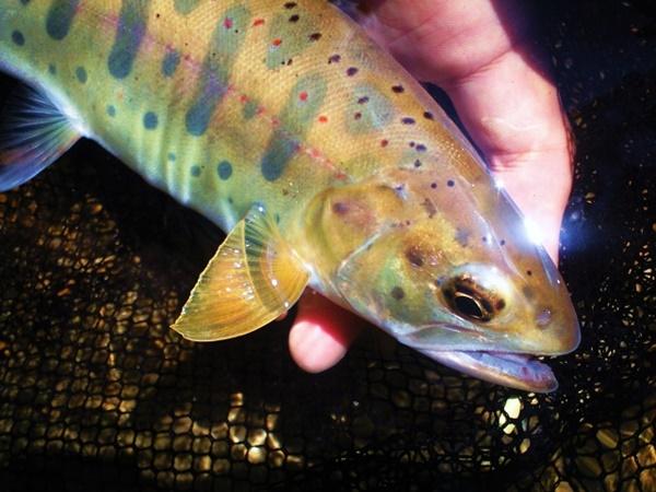アマゴは赤い斑点が美しい渓流魚!
