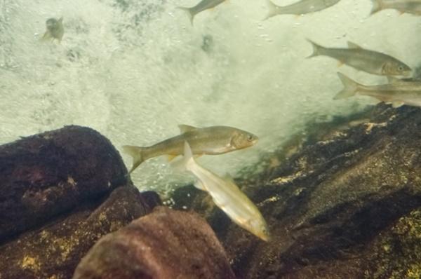 多摩川ふれあい水族館で多摩川に生息する魚を学ぼう