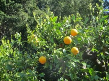 orange à Varenna - Lac de Côme