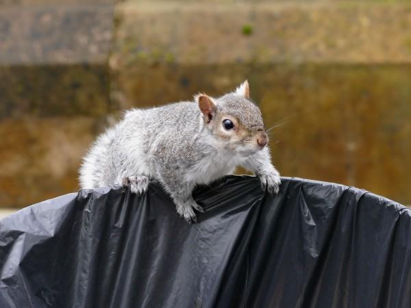 écureuil dans le jardin botanique de Glasgow