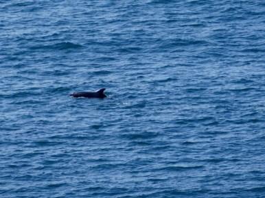dauphins au large de l'île de Staffa (Ecosse)