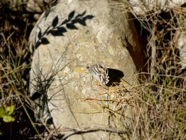 papillon sur la la presqu'île de Sainte-Lucie dans l'Aude
