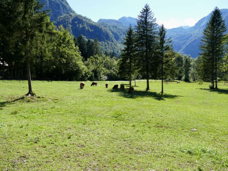 vaches aux alentours du lac de Bohinj