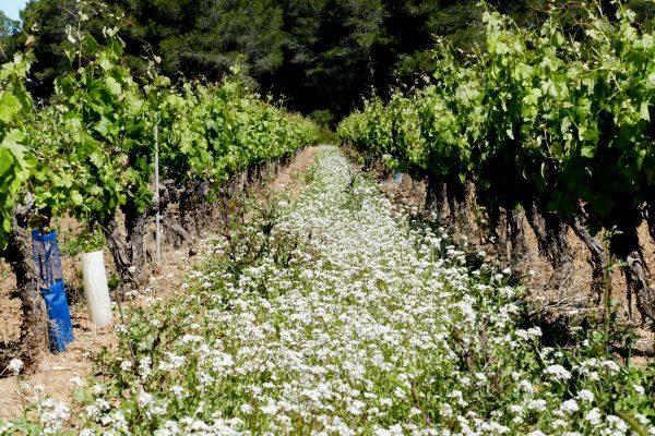 Vignes et fleurs blanches dans les vignes du Picpoul de Pinet