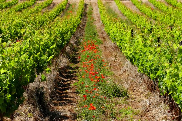 Vignes et Coquelicots dans les vignes du Picpoul de Pinet
