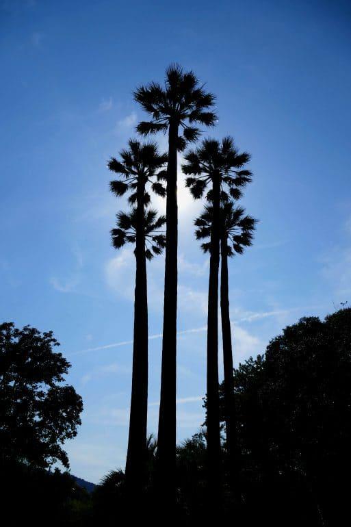 palmiers fleurs dans le parc Olibius Riquier - Hyères