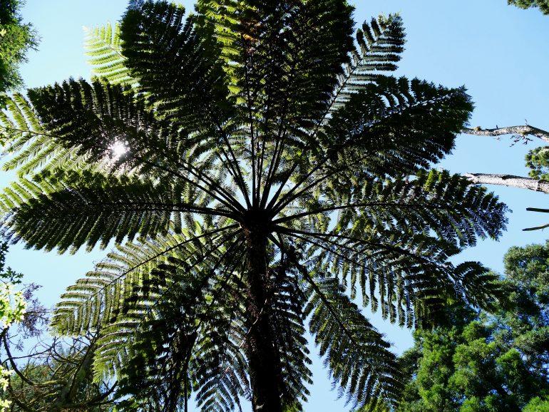 sorte de palmier - parc floral sur Sao Miguel (Açores)