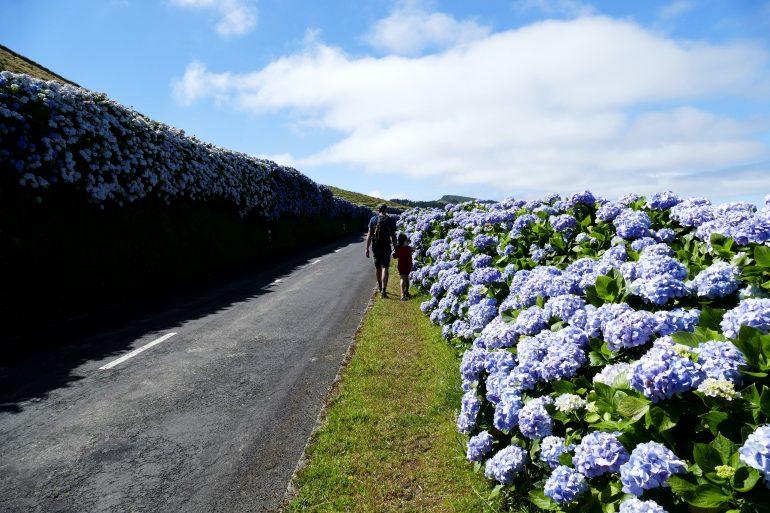 route bordée d'hortensias sur Sao Miguel