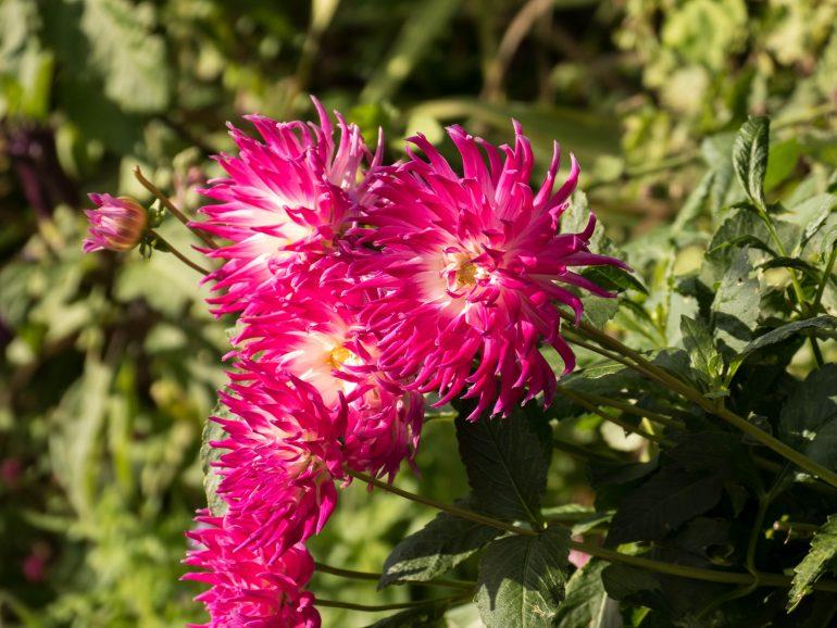 fleurs roses dans les jardins de Giverny