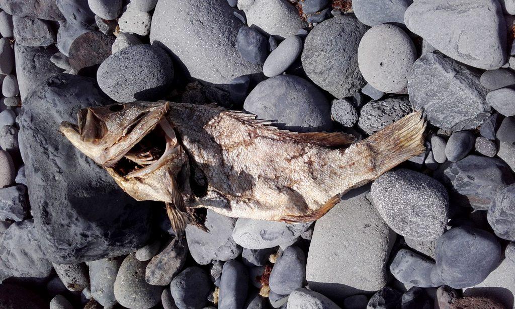 poisson mort - faja dos Cubres