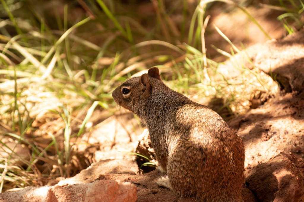 écureuil -Zion