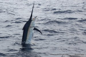 Black, Blue and Striped Marlin...fishbazaruto.com