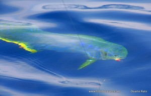 ...and the variety of colors on a dorado are dorado are incredible!