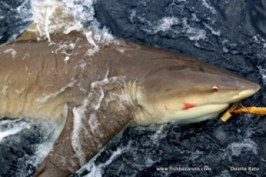 Big numbers of a variety of mid to very large sharks can be caught of Bazaruto year round!