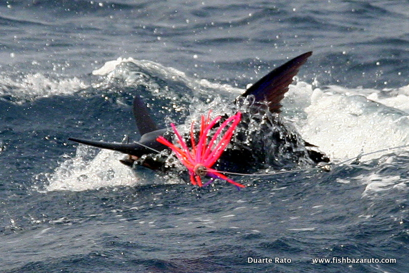 4 Although the vast Majority of fish are fairly small the Inhaca Island / Maputo, the area on offer´s world class numbers of Blue Marlin - Mozambique
