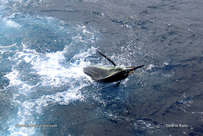 Vilanculos fishing on the Bazaruto Archipelago this year has produced some consistent Blue Marlin fishing throughout, with boats finding good action every time they went out wide.