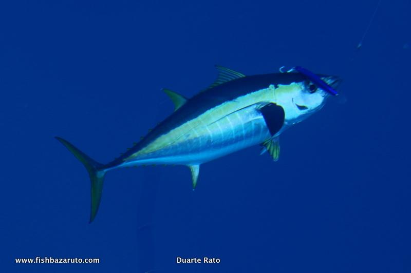 Big Wahoo, Yellowfin Tuna, dorado & exceptional numbers of small Black Marlin