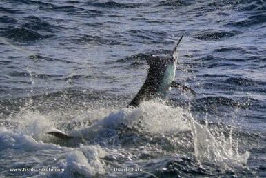 Small Black Marlin in the 80 to 200-pound range have been abundant and finally some of the bigger fish are starting to show. The big girls will be here any time now!