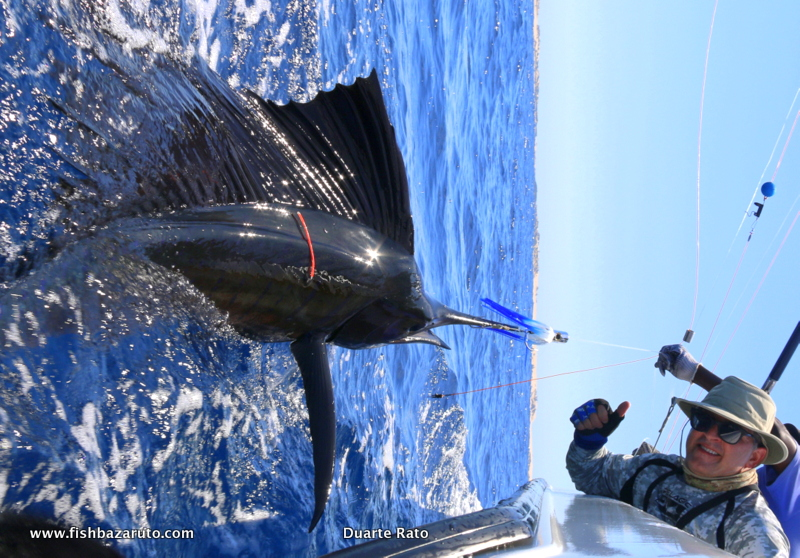 Although Sailfish peak in the winter months between May and September on the Archipelago, they can be caught year round and where a nice and common by catch in late November and early December, including some Big Fish exceeding 45 kilos.