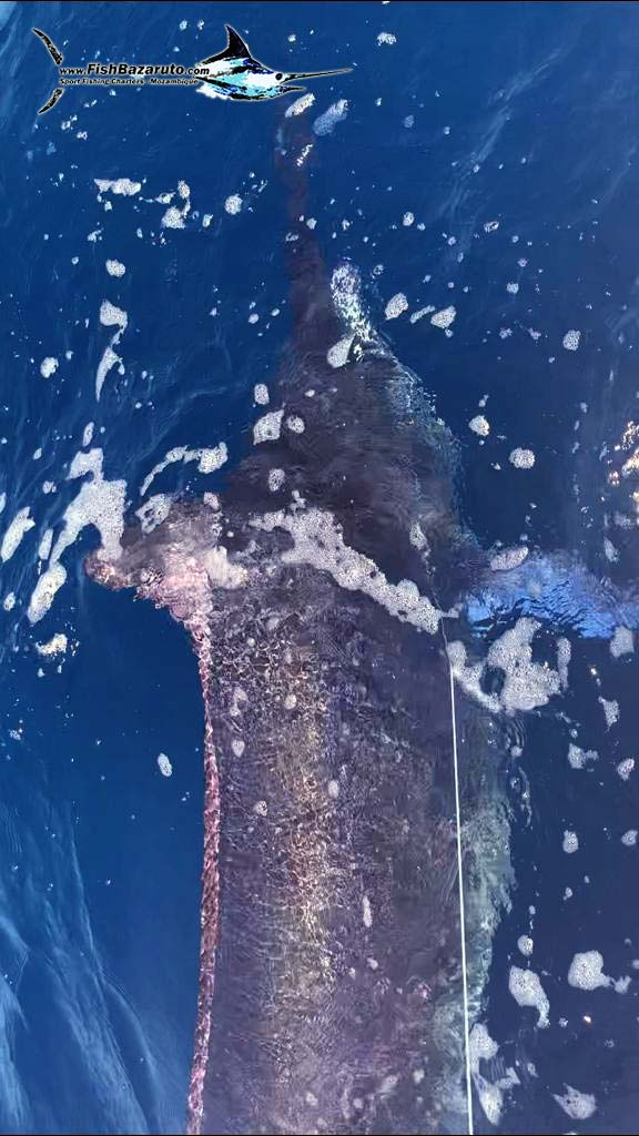 Kid catches 500lb marlin with Duarte Rato