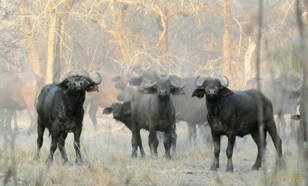 Buffalo in the Zinave National Park in Mozambique